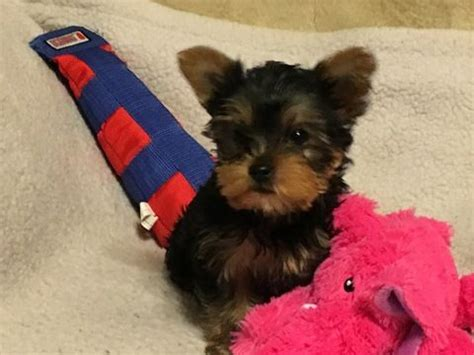 yorkie puppies chicago best 25 terrier for sale ideas only on teacup terrier