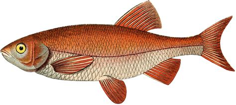 fish clipart vintage golden fish image the graphics