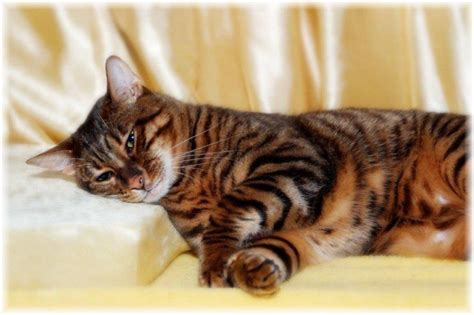 Toyger kitten toyger cat