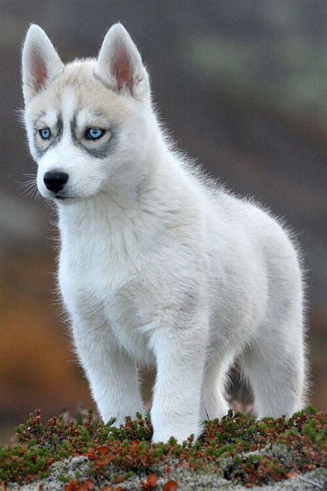 white husky puppies with blue white husky puppy with blue animals