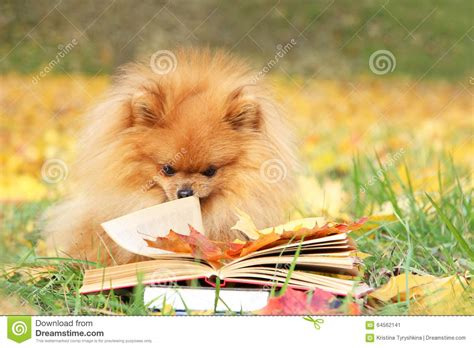 pomeranian books clever with a book pomeranian in autumn park with book stock photo image