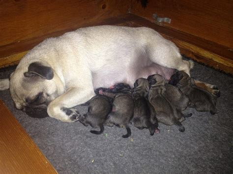 fawn pug puppies fawn pug puppies hounslow middlesex pets4homes