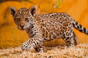 Is A Jaguar A Mammal Jaguar Animal Jaguar Animal Muster Jaguar
