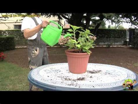 come coltivare le ortensie in vaso come coltivare le ortensie in vaso fai da te mania