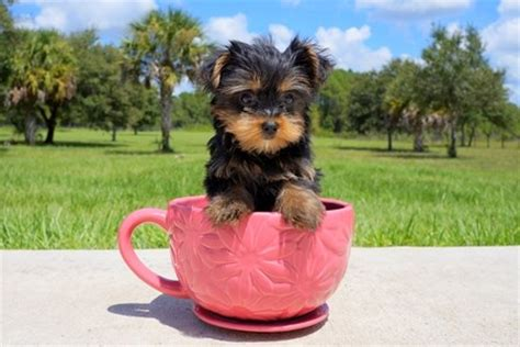 yorkie puppies delaware micro teacup yorkie puppies for sale dover for sale delaware pets dogs