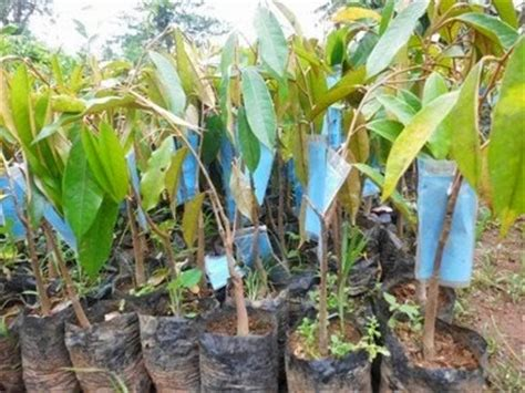 Bibit Durian Musang King Import tanaman buah buahan tanaman buah durian merah kalimantan