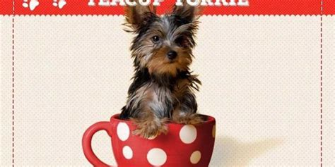 teacup yorkie information teacup yorkies information care and facts yorkiemag