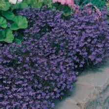 Benih Bibit Biji Bunga Begonia Summer Rainbow F2 Seeds Import benih bunga tobacco blue indian
