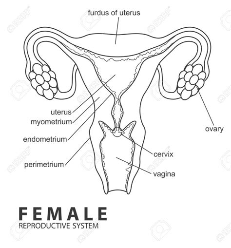 diagram of reproductive organs draw and label the reproductive system human