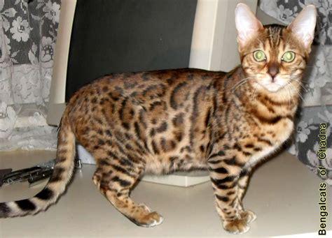 Bantal Klaten bengal cats cats