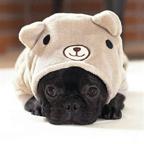 pug costume for baby mini bulldogs pugs black pug costume teddy pics of cats dogs