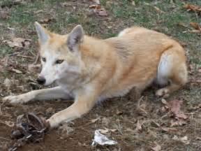 t n t australian shepherd not your average pack coy dog rp