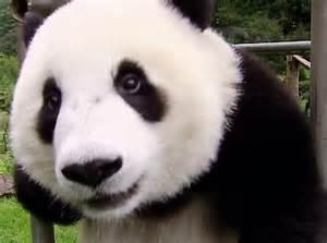 image gallery sneezing panda