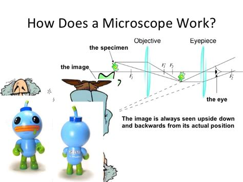 how does a light microscope work compound microscopy