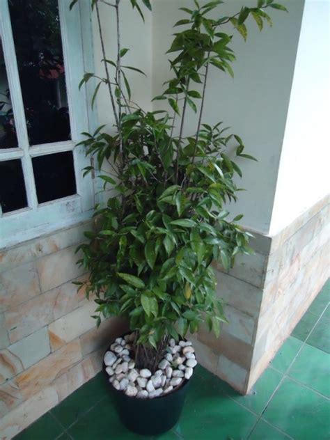 jual desain bunga brasena jual tanaman hias jual desain landscape jual