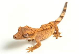 crested gecko care sheet reptile care guides pangea