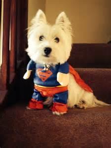 Cute Halloween Costumes 1 Westie Superman Bestcostumeever Halloween Fall Autumn