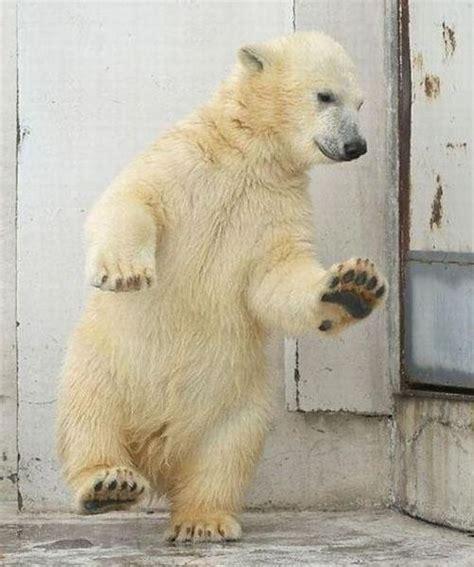 Dancing Polar Bear Meme - b 233 b 233 ours polaire paperblog