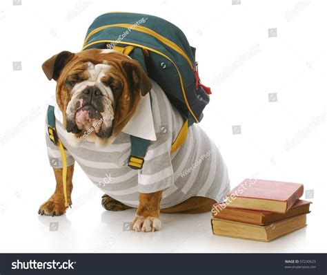 striped bulldog bulldog wearing striped shirt and back pack with