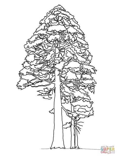 coloring page of redwood tree giant sequoia or redwood coloring page free printable