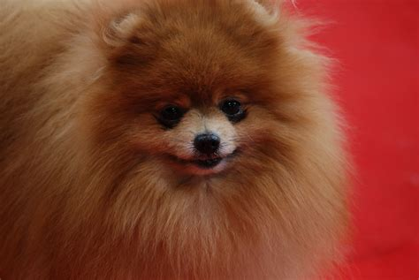 do pomeranians bark a lot best crate for pomeranian n treats