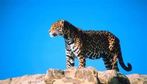 what does a jaguar eat what do sonoran desert jaguars eat animals me