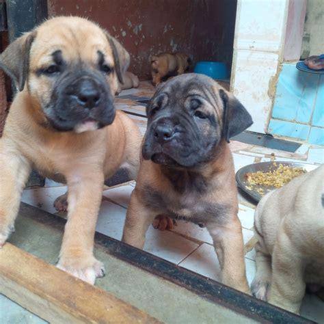 boerboel puppies price boerboel puppies available for new homes pets nigeria