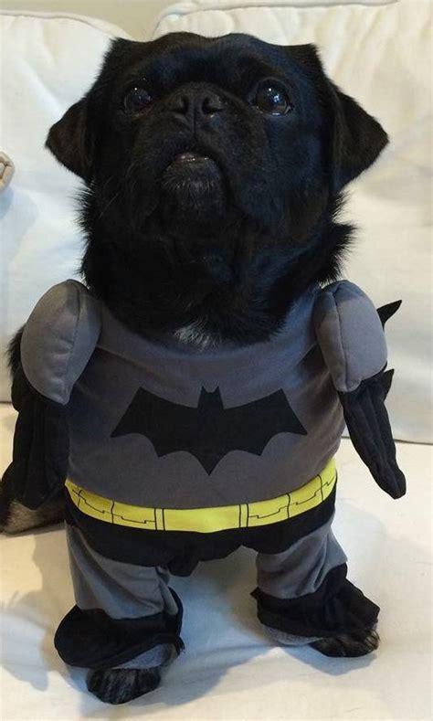 bat pug happy be safe look talent hounds
