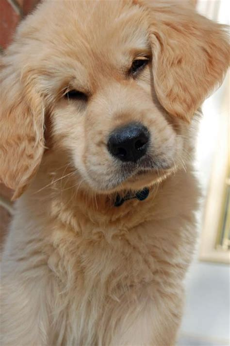 how much is a baby golden retriever 38 best dogs and puppies images on