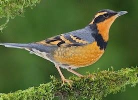 varied thrush sounds all about birds cornell lab of