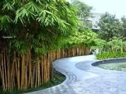 Bibit Bambu Kuning cara merawat tanaman dan aneka tanaman hias pagar rumah