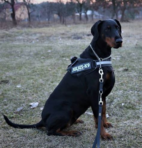 Humm3r Dobermann dobermann kennel