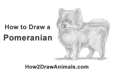 how to draw a pomeranian puppy how to draw a pomeranian