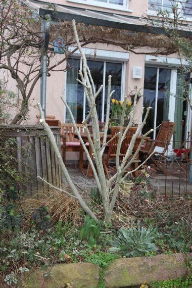 Hibiskus Schneiden Mein Sch 246 Ner Garten