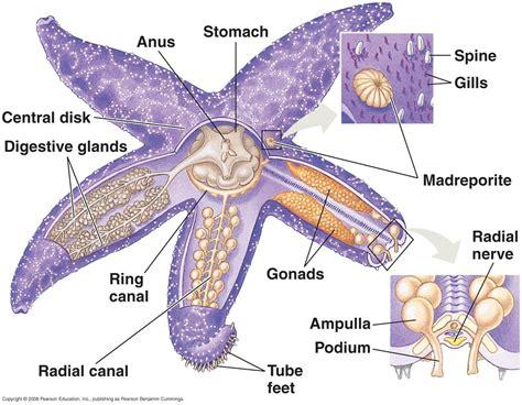 starfish diagram anatomy of starfish diagrams diagram site