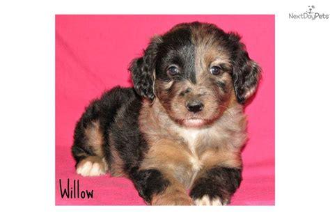 mini aussiedoodle rescue aussiedoodle rescue puppies for sale breeds picture