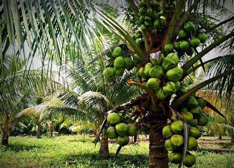 Budidaya Bibit Kelapa Kopyor bibit kelapa kopyor cara budidaya jual