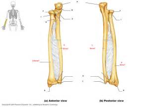 Radius by Learn Quot Radius And Ulna Quot By Gamisoso Memorize Com