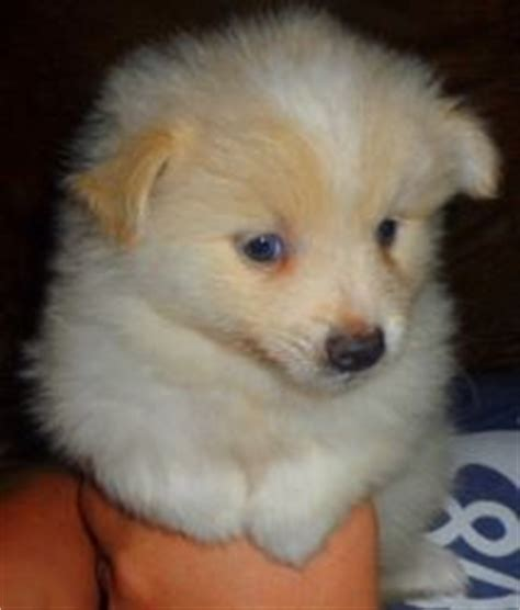 pomimo puppies pomeranian american eskimo mix pup just like the home decor