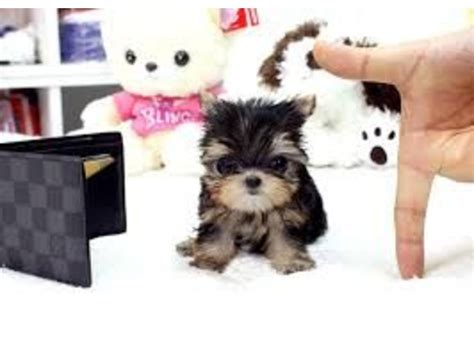 yorkies for sale in shreveport louisiana teacup size yorkie puppies for re homing animals shreveport louisiana
