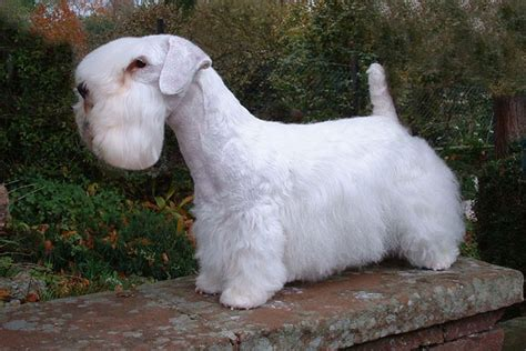 find puppies for sale sealyham terrier puppies for sale from reputable breeders