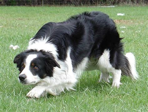 how to a border collie puppy border collie breed standards