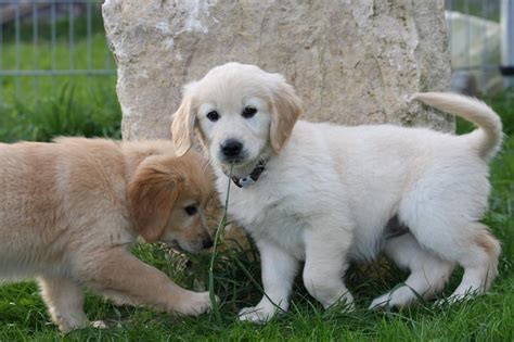 golden retriever ca golden retriever breeders california buying a golden retriever