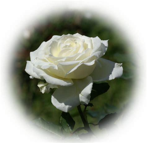 imagenes flores blancas image gallery imagenes de rosas blancas