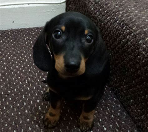 dachshund puppy for sale dachshund puppy for sale image search results breeds picture