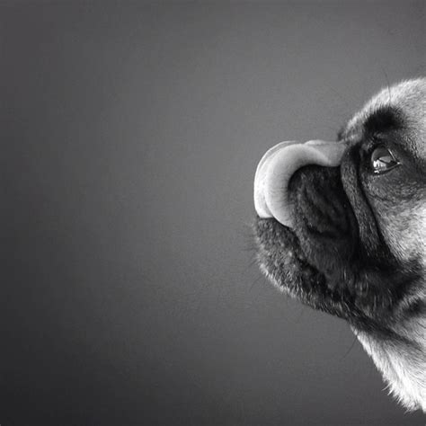 pug photography pug with selfies archives foerstel creative results