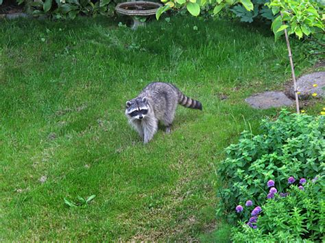 raccoon in my backyard this cute raccoon is stealing our cat food