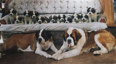 st bernard puppies indiana bernard puppies how to grade a litter advice for any breed