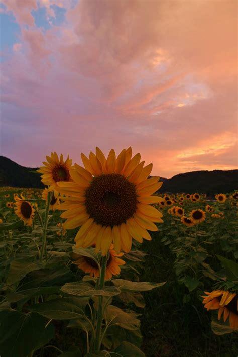 sunflowers sunflower wallpaper sunflower iphone