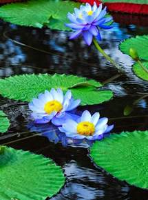 Blue Water Lotus Garden 28 Best Blue Water Lillies Images On Water